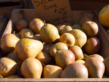 Photo of the Day 1/15/12: Luscious Sekel Pears from Locust Grove Fruit Farm