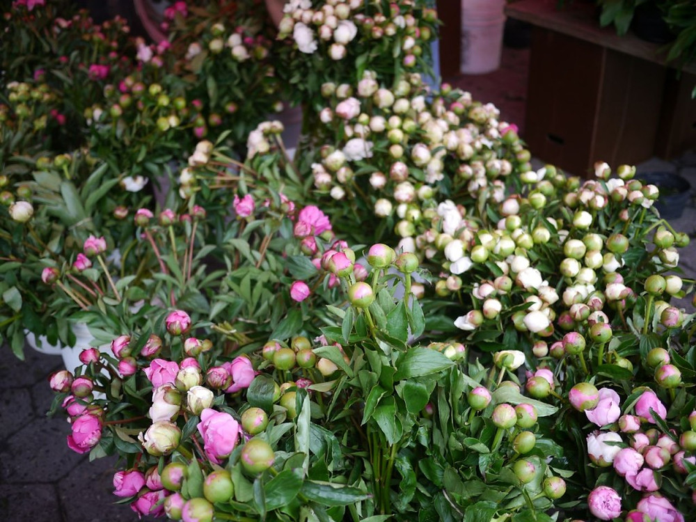 Peony Buds from James Durr Farm at Union Square Greenmarket
