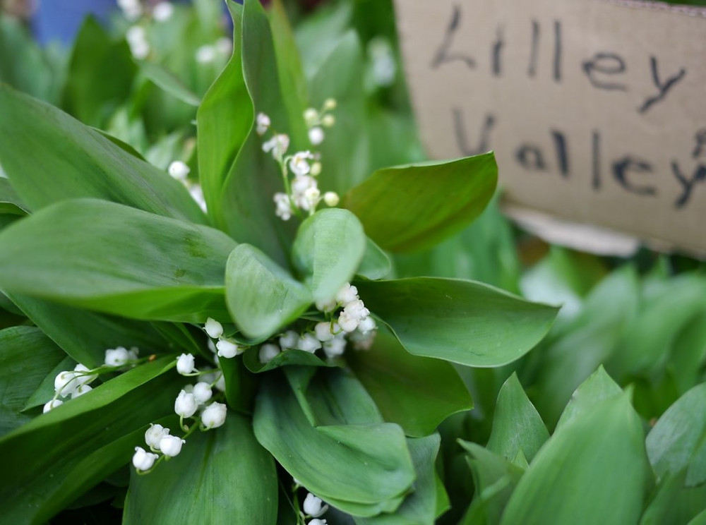 Lilly of the Valley from James Durr Farm