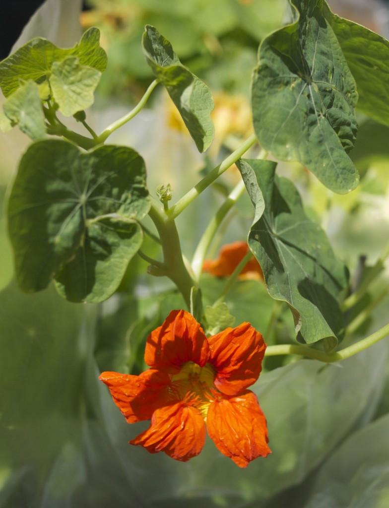 Edible Nasturtiums - Blooms and Leaves too!