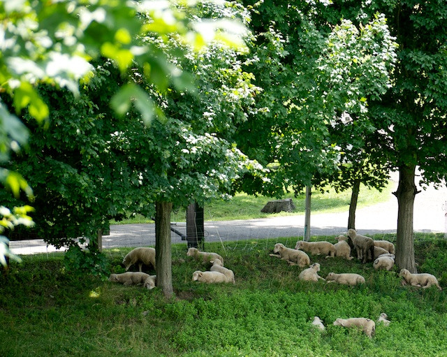 Sheep under the shady trees