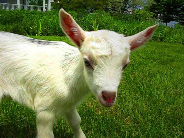 Baby Beekman Goat (photo courtesy of Beekman 1802)
