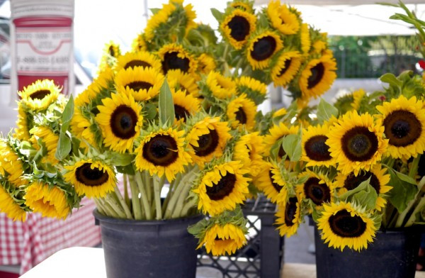 Buckets of sunflowers from Dutchmill Farms