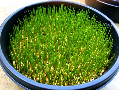 Wheatgrass: Nourishing Humans Since Ancient Egypt