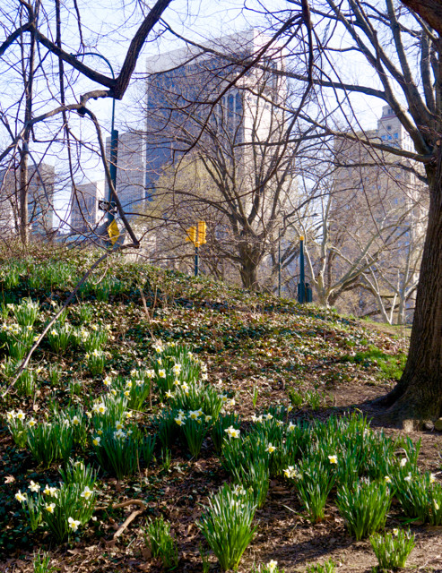 Crowds of Daffodils in Central Park