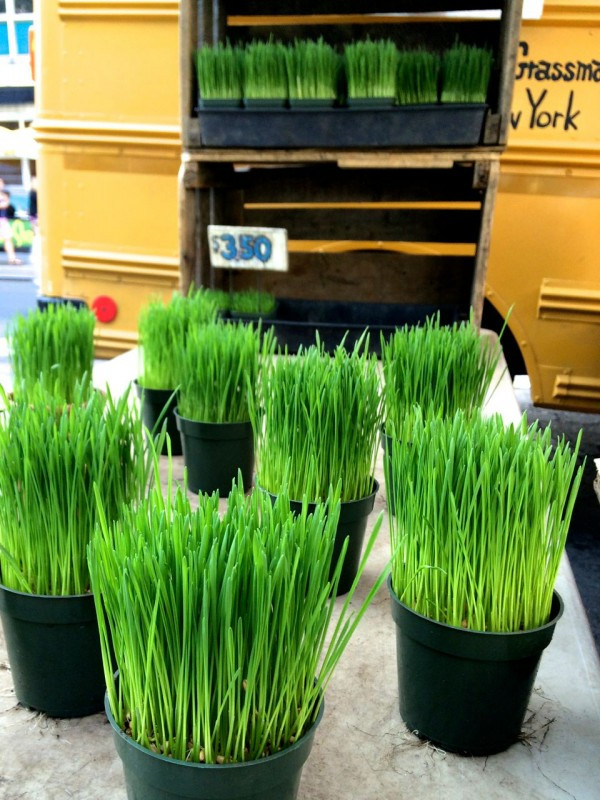 A pot of wheatgrass will last two weeks!