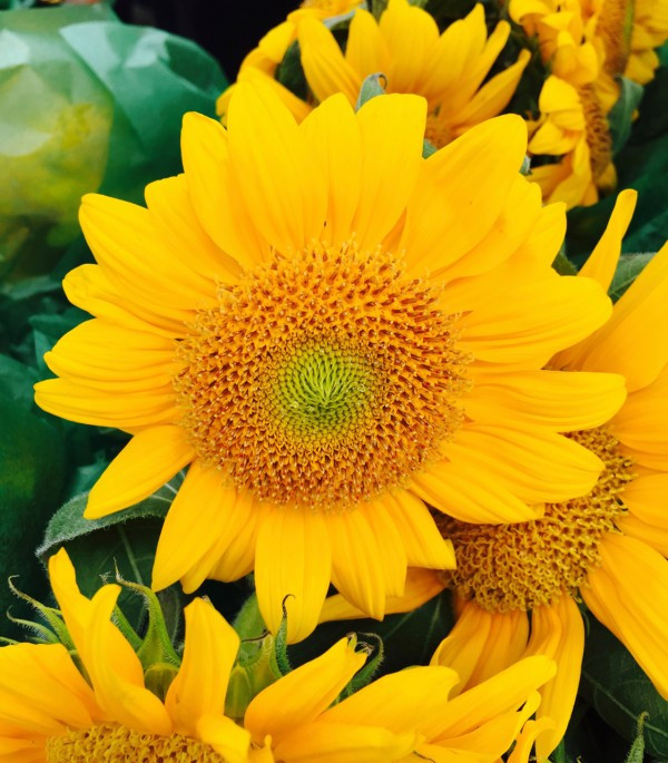 Summery Sunflowers from Rose Meadow Farm in the Greenmarket