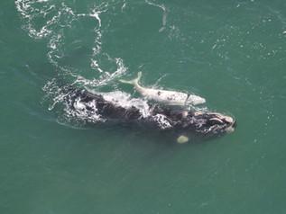 52 baleias-francas são avistadas entre Florianópolis (SC) e Torres (RS)
