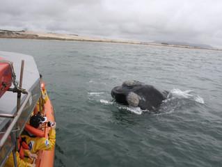 Turismo Embarcado para Observaçãode Baleias é liberado no sul de SC