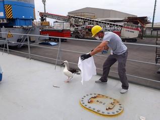 Albatroz viajante é resgatado no Porto de Imbituba