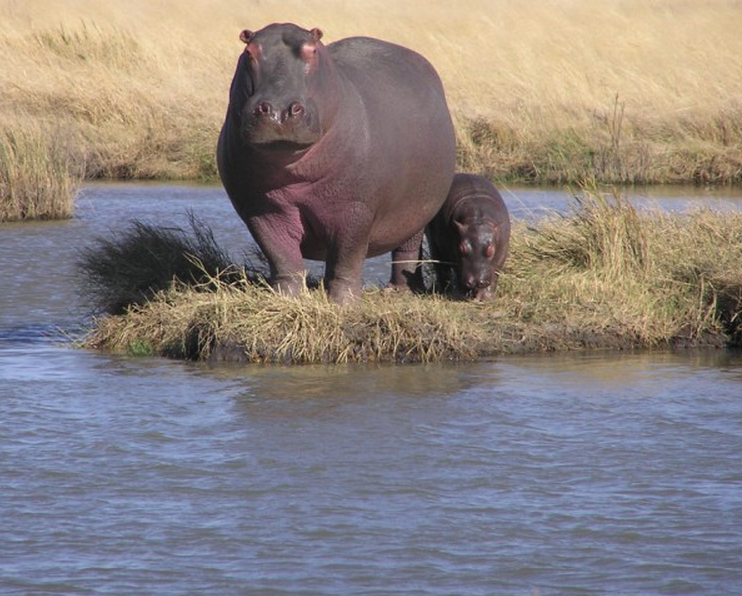 Hippo_and_calf