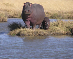 Hippo_and_calf