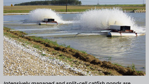 Smaller Catfish Ponds Intensify Production