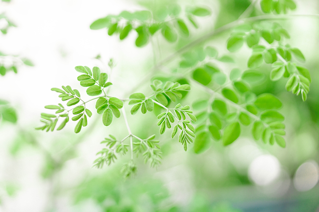 closeup-young-moringa-leaves-branch-herb