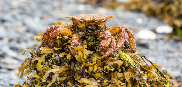 Camoflouge Crab