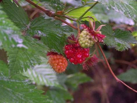 Salmon Berries