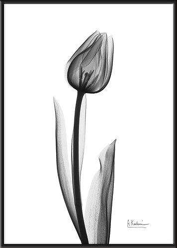 インテリア|北欧|ポスター|おしゃれ|シンプル|ボタニカルアート|モノクロ|アート|海外|Albert Koetsier| A1|A2 A3 A4 A5 レントゲンアート X線 花 アルバート クーツィール 白黒 ブランド 日本製 チューリップ