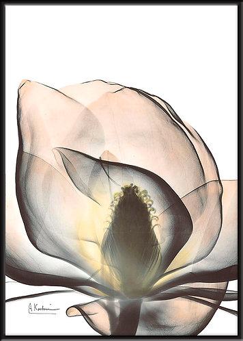 Magnolia_A43