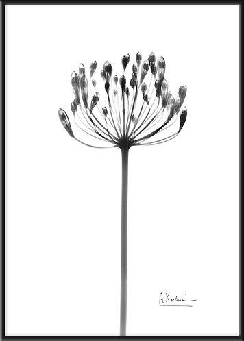 インテリア|北欧|ポスター|おしゃれ|シンプル|ボタニカルアート|モノクロ|アート|海外|Albert Koetsier| A1|A2 A3 A4 A5 レントゲンアート X線 花 アルバート クーツィール 白黒 美しい ブランド 日本製