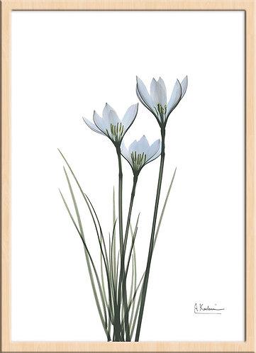 white rain lily_L288