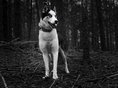 #20 Nuyvilaq Working Dogs Siberian Husky Arrow