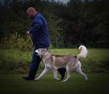 Werkhond ZAZU Nuyvilaq Working Dogs