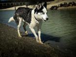 #18 Nuyvilaq Working Dogs Siberian Husky Arrow
