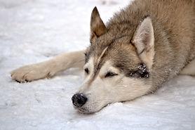 Nuyvilaq Working Dogs Nederlandse Siberian Husky op het ijs werkhond 5.jpg