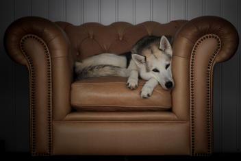 #6 Siberian Husky Werkhond DeeDee OF SAVIGSVIK