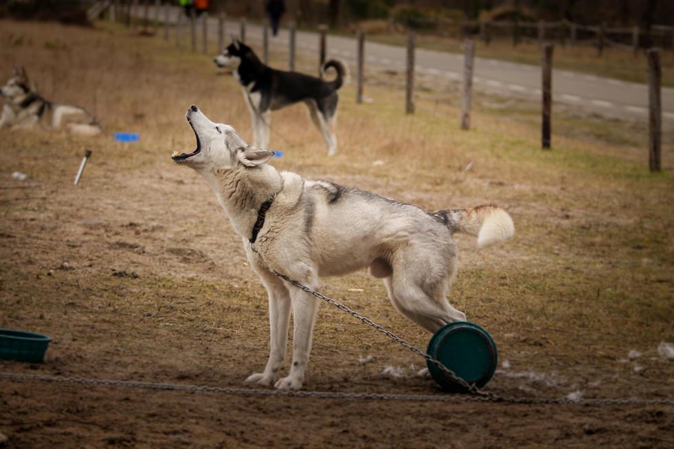 Aschak nuyvilaq working dogs hond siberi