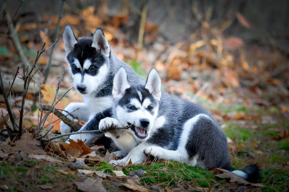 #1 Nuyvilaq Working Dogs BORN TO BE AMAZING Akino