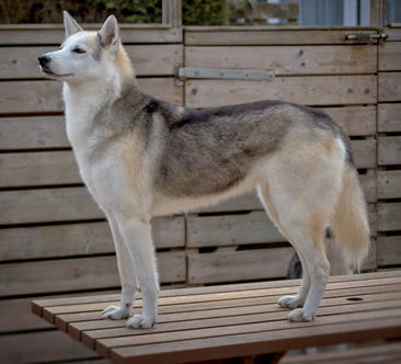 #12 Siberian Husky Werkhond DeeDee OF SAVIGSVIK
