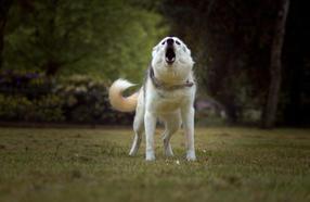 #3 Siberian Husky Werkhond DeeDee OF SAVIGSVIK