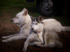 Demon nuyvilaq working dogs hond siberia