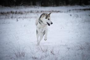 #10 Siberian Husky Werkhond DeeDee OF SAVIGSVIK