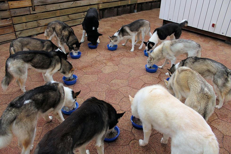 Voedings advies voor werk honden Kivo Petfood, Palamountains