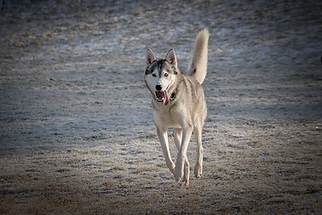 Zazu nuyvilaq working dogs hond siberian