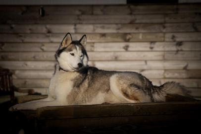 #1 Nuyvilaq Working Dogs Siberian Husky Shiva