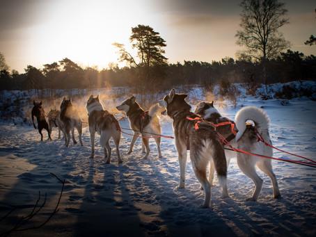 Niet met husky's trainen in Oostenrijk of Zweden, maar gewoon in de Brabantse bossen