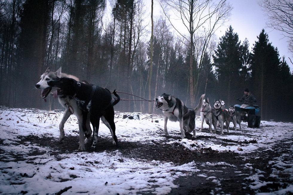 werkhond sledehond husky k9 nuyvilaq wor