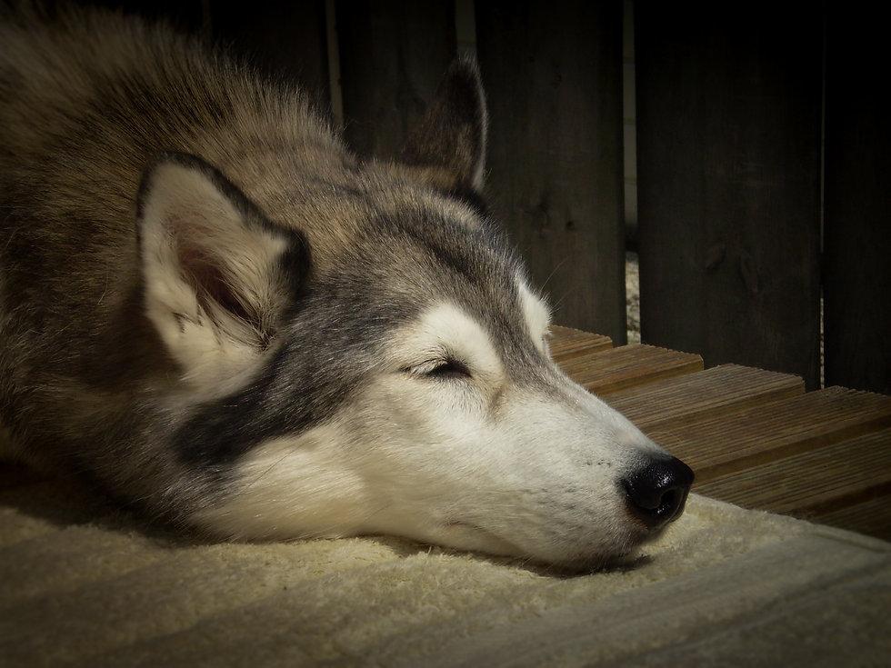 Demi nuyvilaq working dogs hond siberian