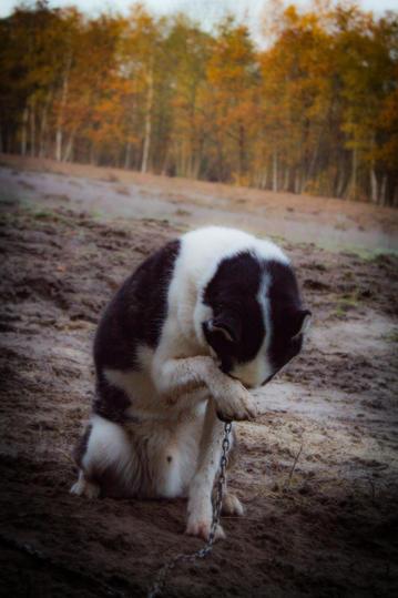 #4 Nuyvilaq Working Dogs Siberian Husky Arrow