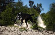 Werkhond IMPEY Nuyvilaq Working Dogs