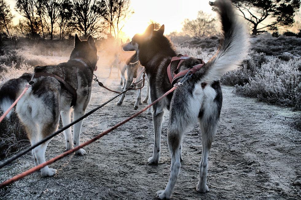 werkhond en in actie sledehondensport