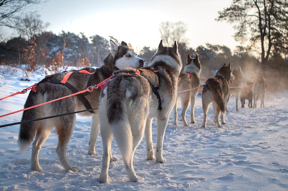 sneeuw sledehonden 1.jpg
