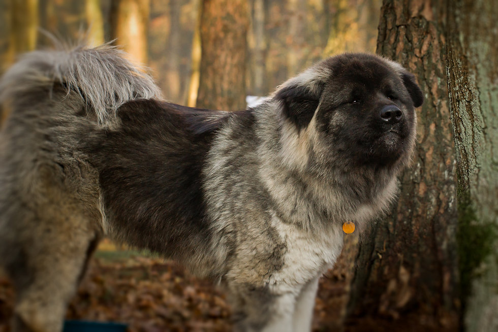 Dallas nuyvilaq working dogs hond siberi