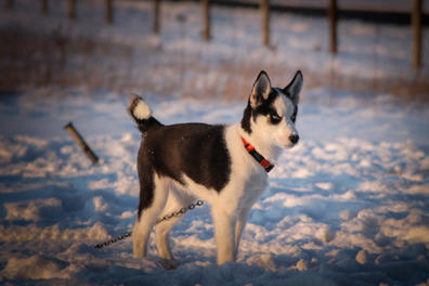 #17 Nuyvilaq Working Dogs Siberian Husky Arrow