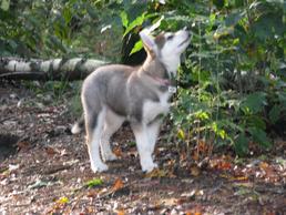 #8 Siberian Husky Werkhond DeeDee OF SAVIGSVIK