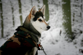 #2 Siberian Husky Werkhond DeeDee OF SAVIGSVIK