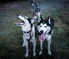 #14 Nuyvilaq Working Dogs Siberian Husky Arrow
